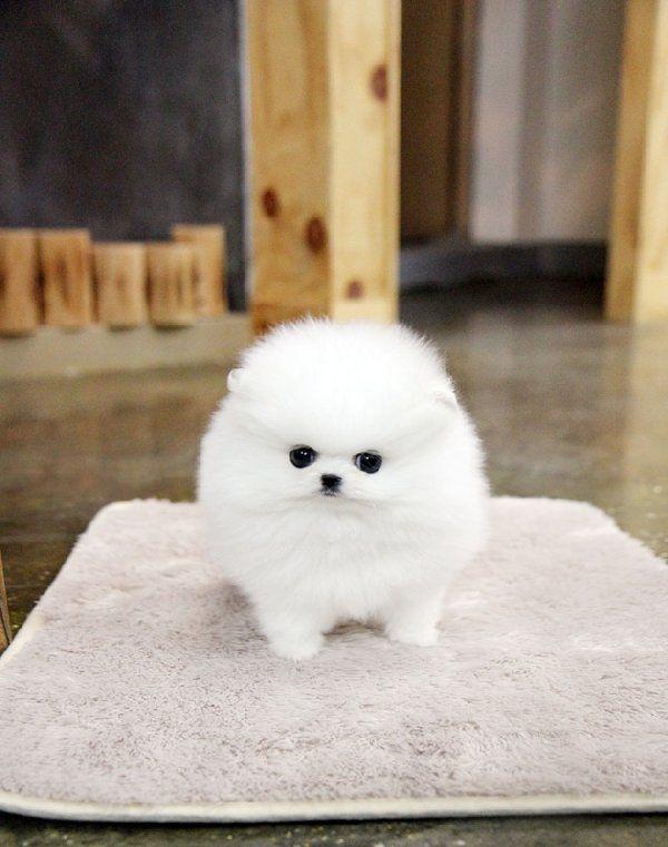 Pomeranian Puppies For Free | usa.efreeclassifiedads...Pomeranian Puppies free to