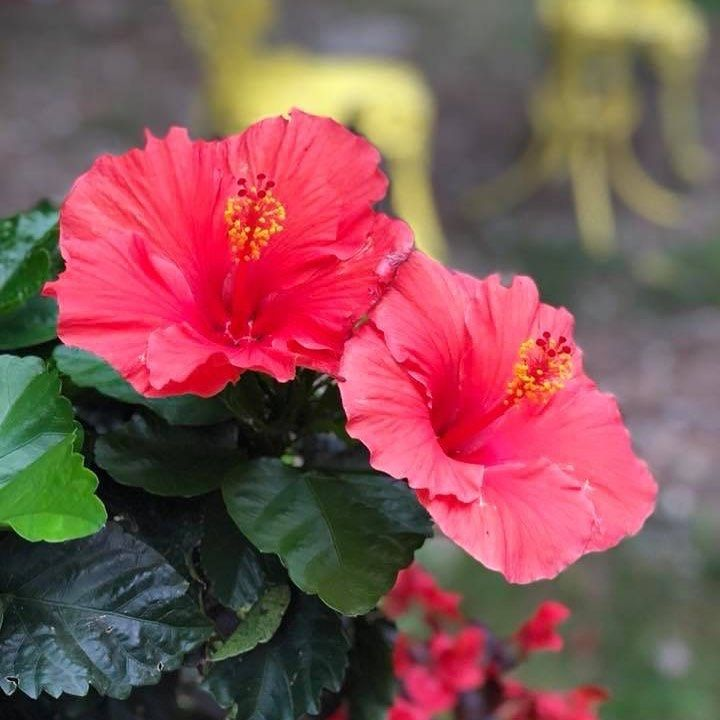 Good Night From The Maritimes The Hibiscus Are In Full Bloom Courtyardgarden Outdoorgardens Garden Decor Projects Landscape Projects Garden Design