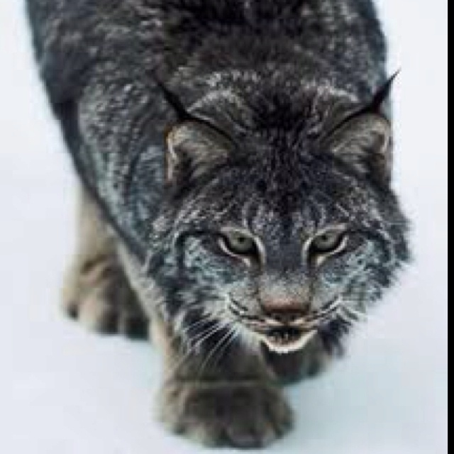 19 Best Images About Beautiful Lynx Cat Photography On