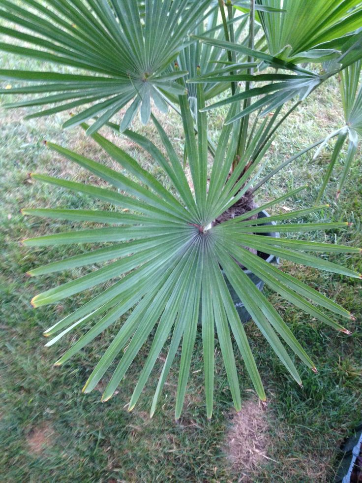 48 Best Images About Northern Palm Trees On Pinterest