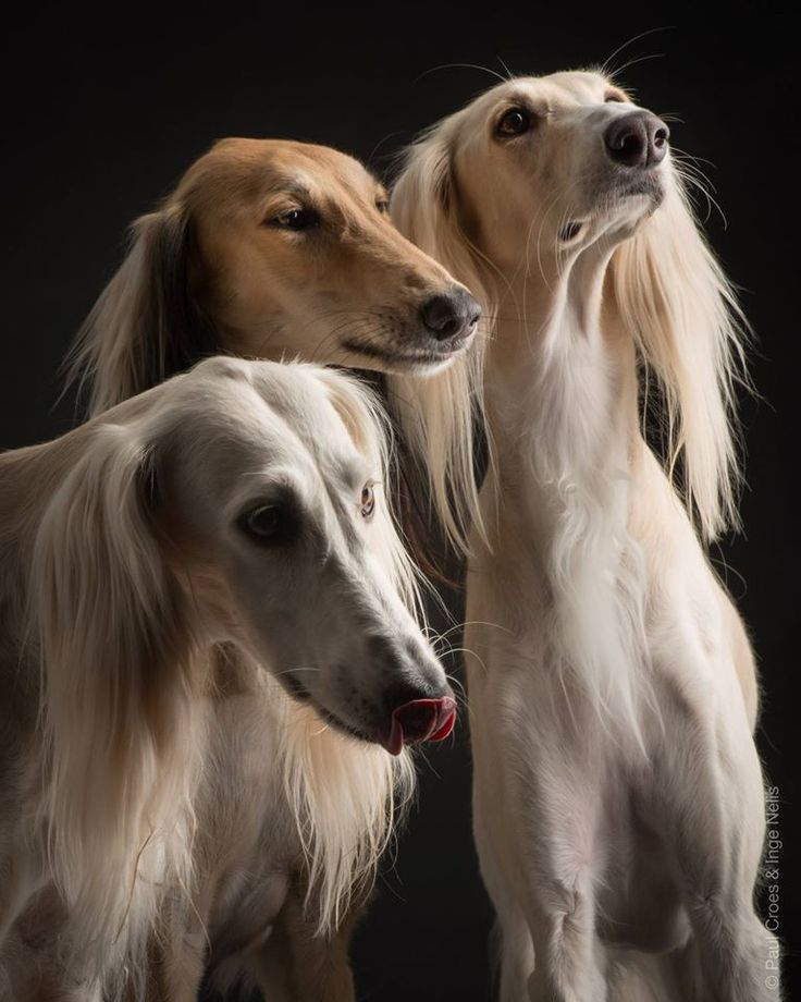Saluki (Arabian Hound) Photographer: Paul Croes