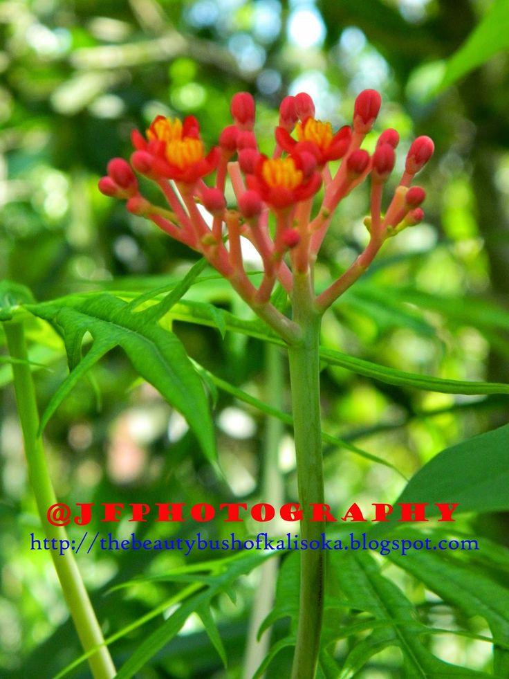 The Beauty Bush of Kalisoka: Herb on Bush - Herbal di Semak-semak