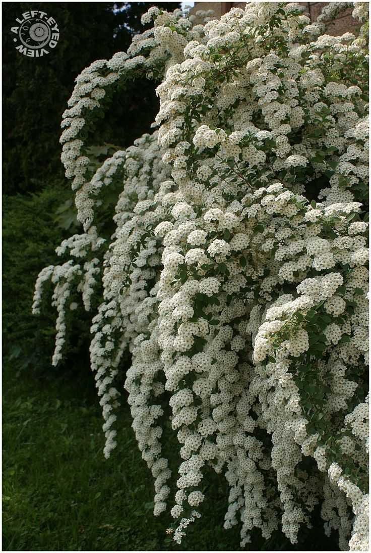 67 best summer flowering shrubs for colorado images on pinterest van houtte spiraea several varities so check your zone to see which works dhlflorist Gallery