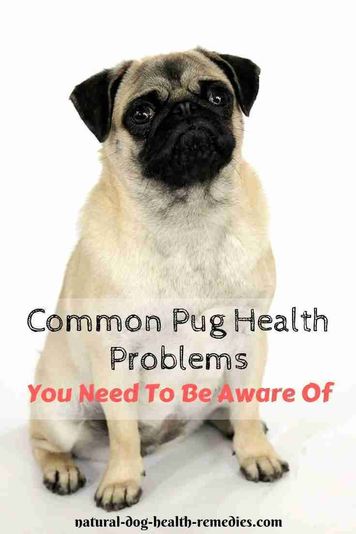 Pug Health Problems Lifespan With Images Pug Health Problems