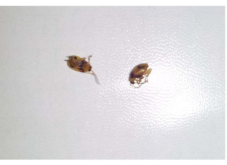 The bugs that ate my garden - thousands of these.