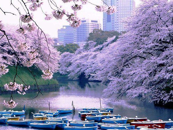 Тур «Цветение сакуры» подарит замечательные дни отдыха в волшебном облаке японской сакуры. Вас ждут самые живописные и популярные места для любования сакурой в городах Японии – Токио, Киото, Такаяма, Мацумото.  Заказать тур в Японию из Израиля можно в Sky Travel: http://skytravel.co.il/landing/