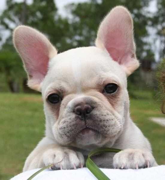 bulldog francés | Bulldog Francês Preço - Quanto Custa Um