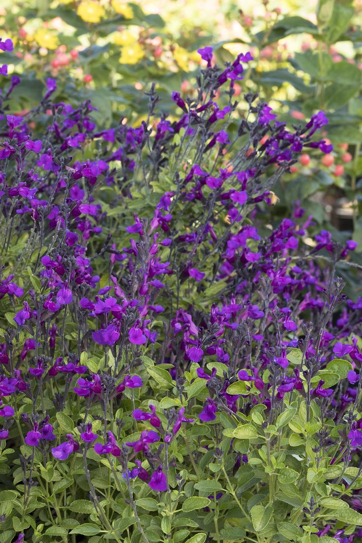 Purple Sage Plant Facts - Tips On The Care Of Purple Sage ...
