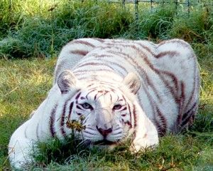 ZABU White Female Siberian/Bengal Hybrid Big Cat Rescue, Tampa FL