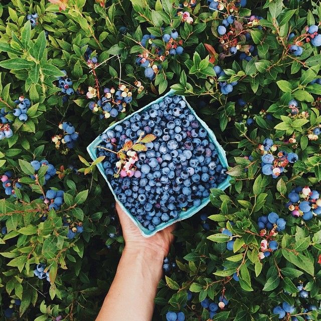 Blueberry picking in Michigan.