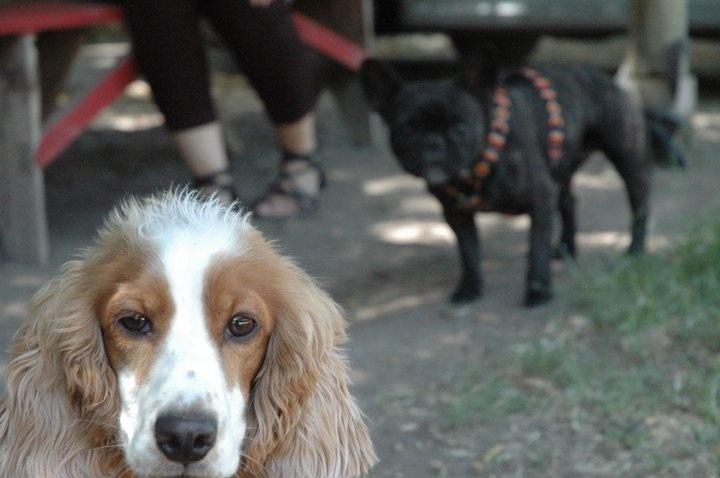 cabeza de perra- Florencia cocker