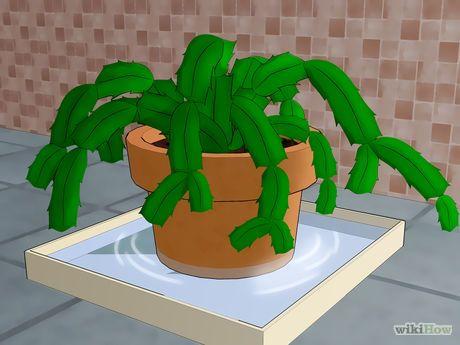 1000 id es sur le th me soins de cactus de no l sur pinterest cactus cactu - Entretenir un cactus ...