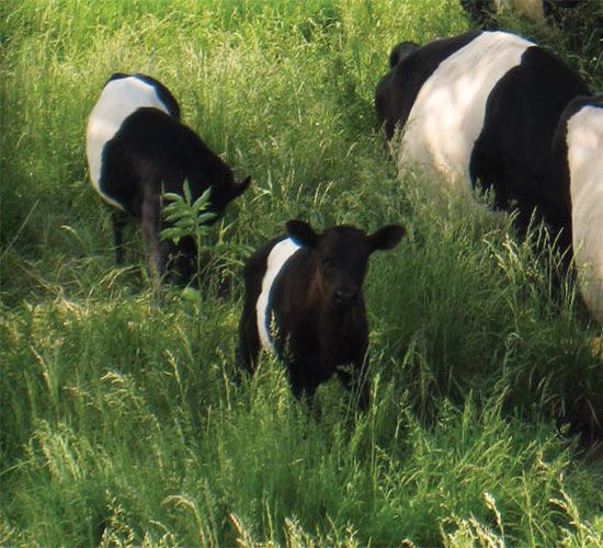 "If you're looking for a great cow for your homestead, consider the Dutch Belted milking cow. This is a heritage breed milking cow, sometimes called an ""Oreo cow"" for it's distinctive black/white/black coloring. Healthy and good-natured, these cows live for up to 20 years--much longer than the 3-year average for cows in commercial dairies. From MOTHER EARTH NEWS magazine."