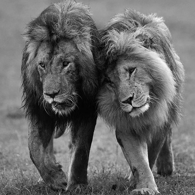 Two loving Brothers. In some situations, to avoid a new, stronger male taking over a lion Pride, two brothers, or half brothers will form a coalition. This is because, when a new lions takes over, all cubs are killed, to ensure the previous leaders genetic line dies out. These coalitions can also have their origins in childhood, if two brothers are particularly close. Unfortunately, no matter how strong the coalition is, people continue to poach, hunt and capture these magestic creatures. We…