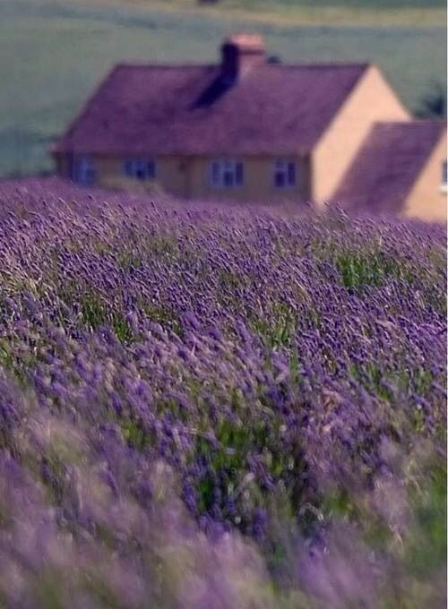 Fields of lavender…is there any reason not to love!