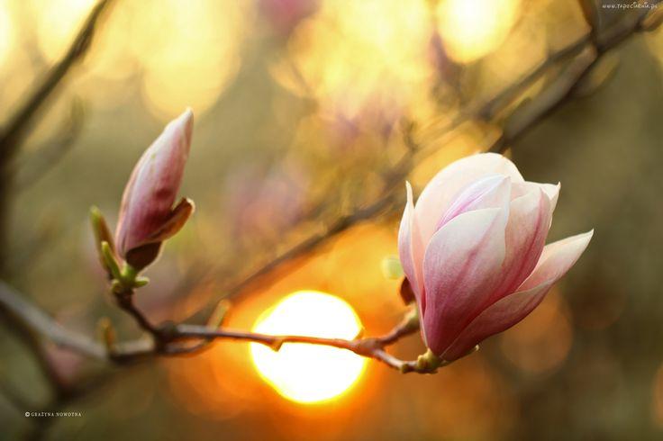 Edycja Tapety: Różowa, Magnolia, Krzew, Kwiaty