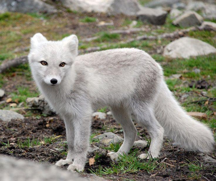 Arctic fox stock 10 by ~GrayeyesStock on deviantART