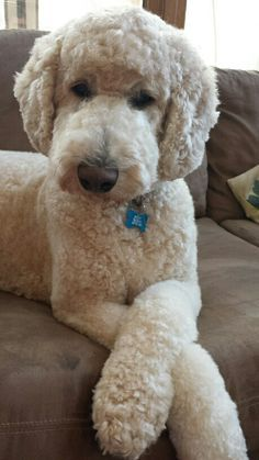 Standard Poodle ~ love this trim!