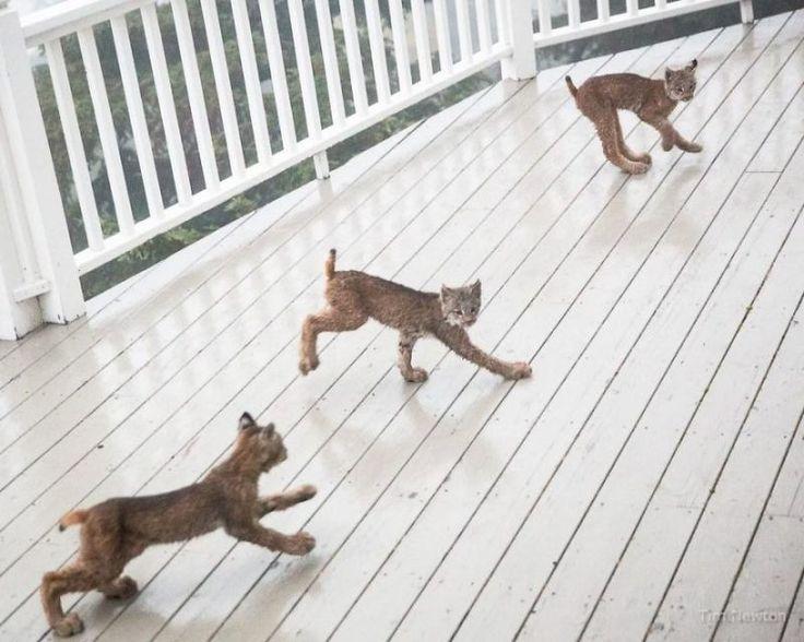 Furcsa hangokra ébredt, egy hiúzcsalád fogadta a verandán | Sokszínű vidék