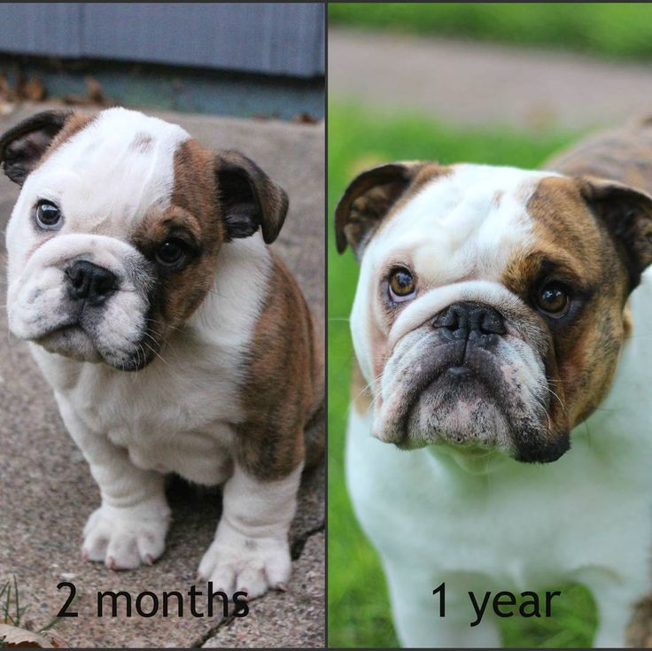 nice English Bulldog puppy birthday...