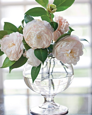 Pale pink camellias