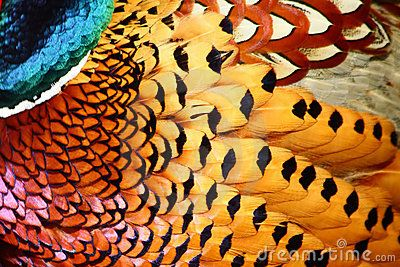 Feathers of Common Pheasant by Petergyure