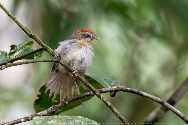 Burung Keliling Rumah: RIMBA TUA BESAR (Rufous-crowned Babbler)