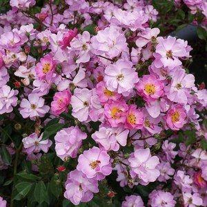 Rosier Polyantha  'Lavender Dream'