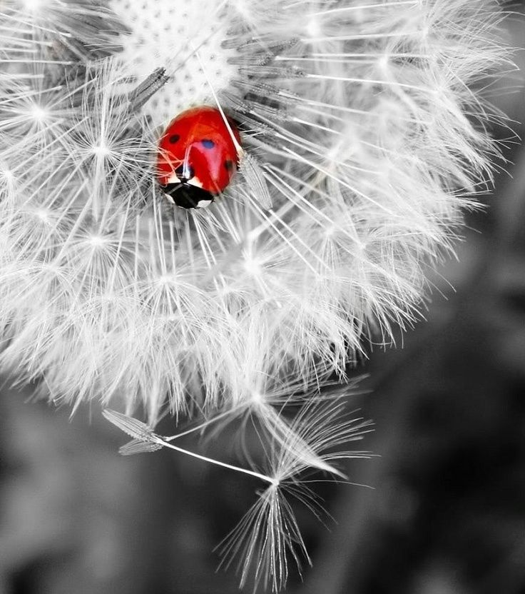 Red ladybug on a white dandelion touch of color photography this is an amazing board with beautiful hints of
