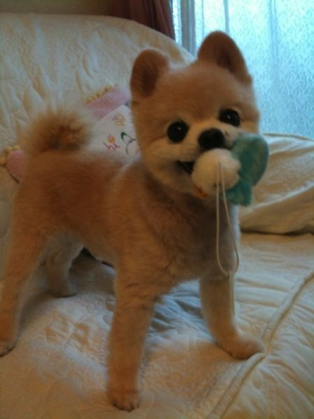 pomeranian trimmed 17 best images about adorable boo on pinterest cutest 5187