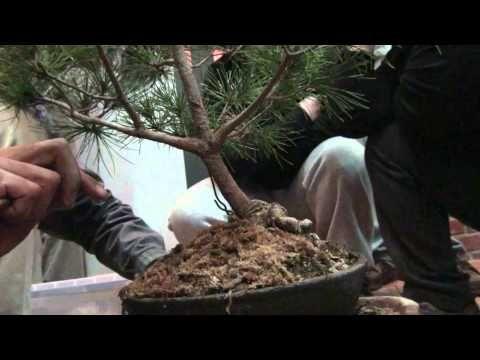 劉老師Lizika Liu-(第三步--將五葉松小心保濕)-示範五葉松盆栽的換盆與土壤 - YouTube