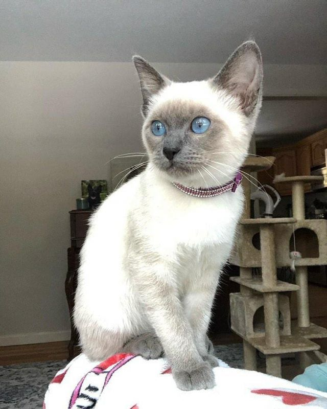 Siamese Of Day Siamese Cat Blog Fun Facts Tips In 2020 Siamese Cats Popular Breeds Fun Facts