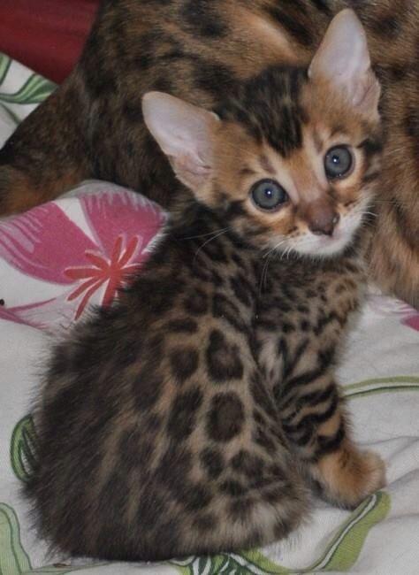 Love this baby Bengal kitten