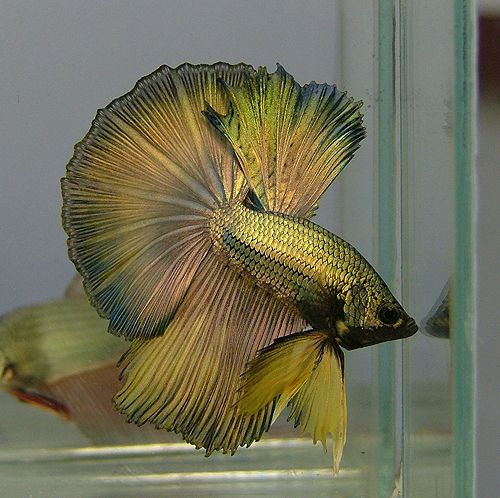 Half moon betta fish 333. Lovely!!!