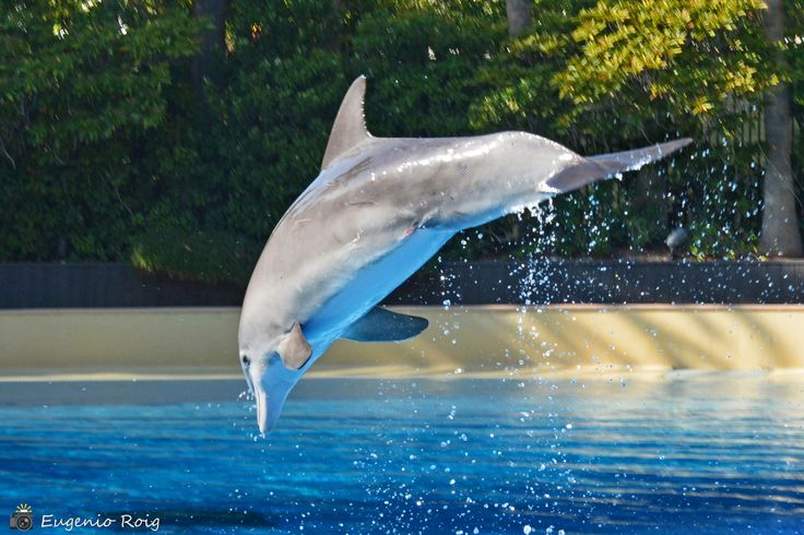 https://flic.kr/p/Uty2Zc | Dolphin Habitat at The Mirage Resort & Casino. Las Vegas Nevada. | Animal lovers will not want to miss the wildest attraction in Las Vegas. Dolphin Habitat are the best places to see animals up close and personal. The dolphin habitat is great for kids. The dolphins will do tricks and splash while you take photos or just get up close and try to stroke one. There are a total of six bottlenose dolphins in the habitat, including a mom, dad and son who is only one year…