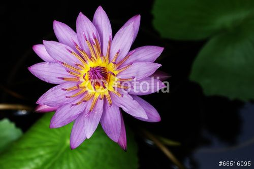 water Lily, #fotolia
