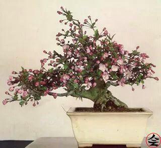 Macieira 30 years old - via fb page Bonsai Kai
