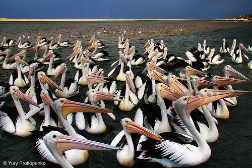Pelicans at The Entrance, Central Coast, NSW, Australia