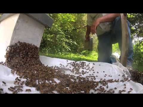 How to catch a swarm of bees