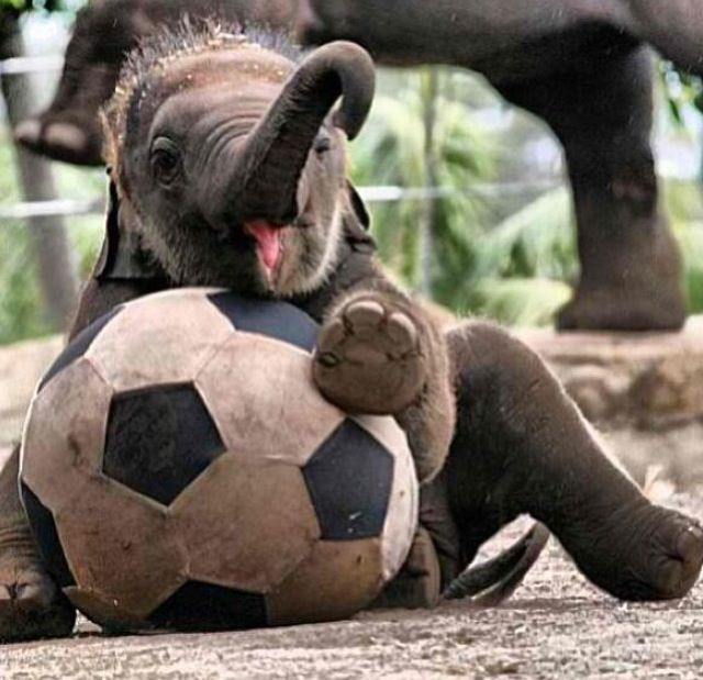 Baby elephant playing soccer. . . Probably the cutest thing I've ever seen : )