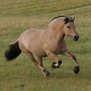 Fjord horse - I would love to get one....maybe one day.