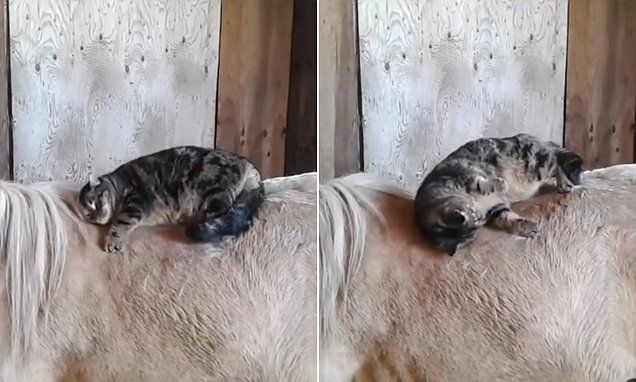 Cute cat positioning itself for a nap on horse will melt your heart