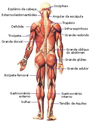 .:: Sistema Muscular - Só Biologia ::.