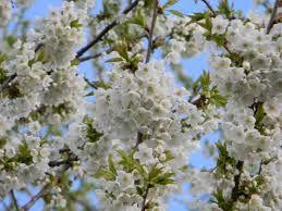 Imagini pentru flori de ciresi