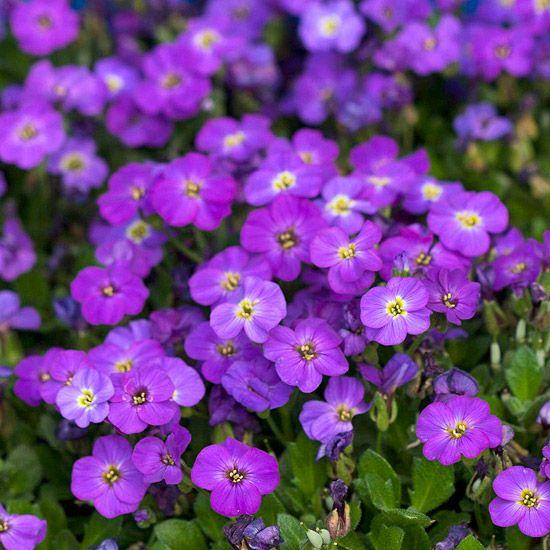 223 Best Images About Flowers Primrose Phlox