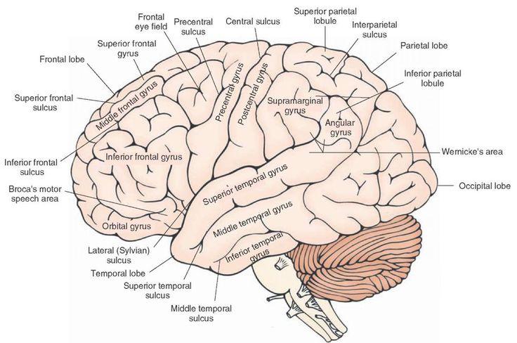 Lateral view of the cerebral cortex showing the principal gyri and sulci. -- This site has some really excellent, clean neuroscience diagrams.