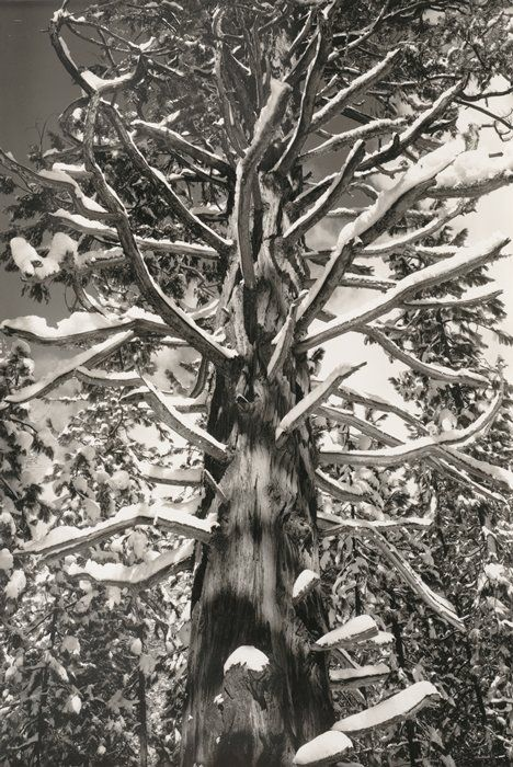 Ansel Adams, Cedar Tree, Winter, Yosemite Valley, ca. 1935; printed ca. 1972; photograph; gelatin silver print, 6 1/2 in. x 4 3/8 in. (16.51 cm x 11.11 cm); Collection SFMOMA, Gift of Alfred Fromm, Otto Meyer, and Louis Petri, San Francisco; © 2009 The Ansel Adams Publishing Rights Trust