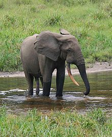 African forest elephant - Wikipedia, the free encyclopedia. African forest elephant male in a forest clearing, Gabon