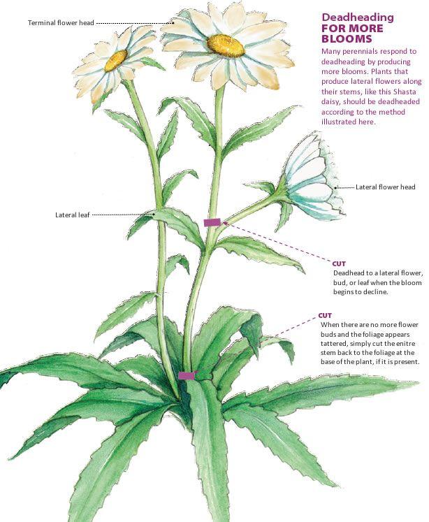 Off With Their Heads Deadheading Perennials Finegardening Perennials Deadheading Flowers Long Blooming Perennials
