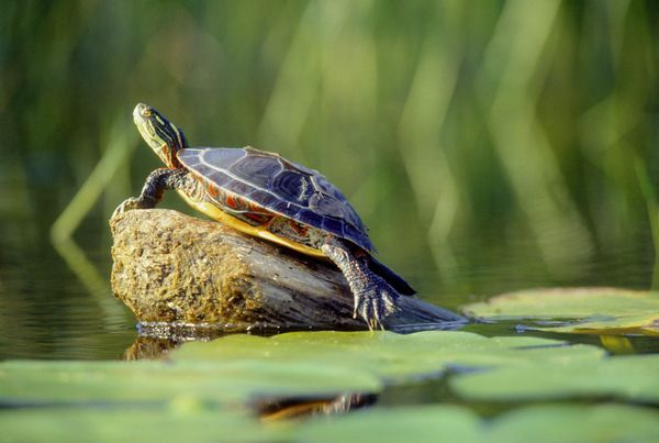 Turtle in pond, pond care for aquatic turtles